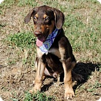Doberman Pinscher Mix Puppy for adoption in Andover, Connecticut - PUPPY REESES