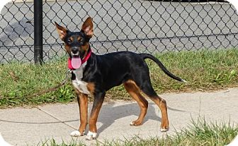 Chihuahua/Jack Russell Terrier Mix Puppy for adoption in Bridgewater, New Jersey - Amaryllis