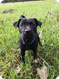 Labrador Retriever/German Shepherd Dog Mix Puppy for adoption in New Smyrna Beach, Florida - Maggie