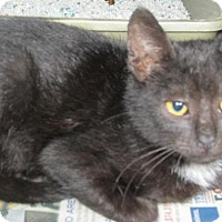 Adopt A Pet :: Cat R001 - Rocky Mount, NC