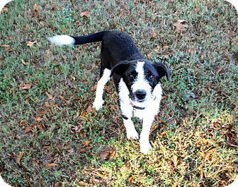 Collie/Border Collie Mix Puppy for adoption in Muldrow, Oklahoma - Keir
