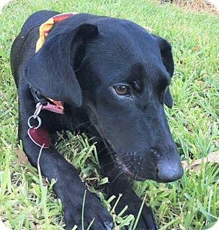 Dachshund Dog for adoption in Allentown, Pennsylvania - Bella ~ DOB 2/02/16!