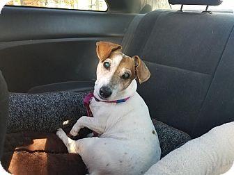 Jack Russell Terrier Dog for adoption in Philadelphia, Pennsylvania - DOLLY!