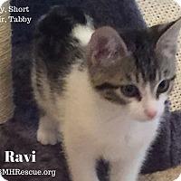 Adopt A Pet :: Ravi - Temecula, CA