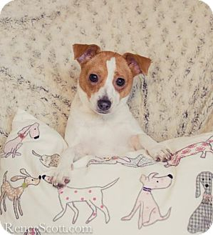 Jack Russell Terrier Mix Dog for adoption in San Jose, California - Mona