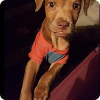 Adopt A Pet :: Jagger - Houston, TX