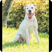 Adopt A Pet :: Brodie - Miami, FL