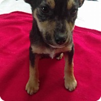 Adopt A Pet :: Vince - joliet, IL