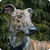 Adopt A Pet :: Sheldon - Seattle, WA