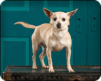 Chihuahua Dog for adoption in Owensboro, Kentucky - Diamond