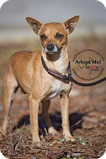 Feist Mix Dog for adoption in Charlemont, Massachusetts - Chloe