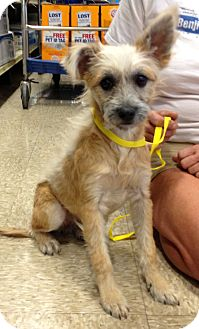 Cairn Terrier/Terrier (Unknown Type, Small) Mix Dog for adoption in Phoenix, Arizona - Carolyn