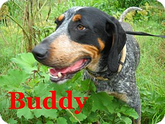 Bluetick Coonhound Dog for adoption in Derry, New Hampshire - Buddy