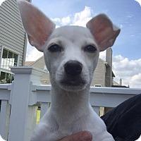 Adopt A Pet :: Coco Channel - Mount Laurel, NJ