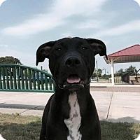 Adopt A Pet :: Latte - Southampton, PA