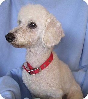 Poodle (Miniature) Dog for adoption in Yucaipa, California - SugarPlum