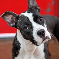 Adopt A Pet :: Jelly - St. Louis, MO