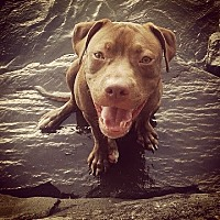 American Pit Bull Terrier Mix Dog for adoption in Brooklyn, New York - Jeremy Fitzgerald