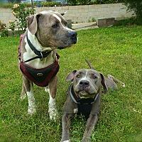 Adopt A Pet :: Lily&Doogie-URGENT - Burbank, CA