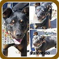 Adopt A Pet :: VALENTINO - Malvern, AR