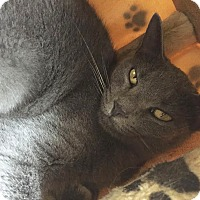 Russian Blue Cat for adoption in Boca Raton, Florida - Cindy Clawford