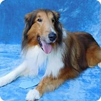 Collie Dog for adoption in Charlotte, North Carolina - Moose