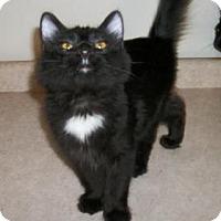 Domestic Longhair Kitten for adoption in Lacon, Illinois - Shawn