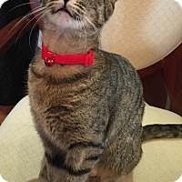 Domestic Shorthair Cat for adoption in Oakville, Ontario - Cashew