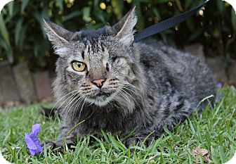 Maine Coon Cat for adoption in Ocean Springs, Mississippi - Floyd