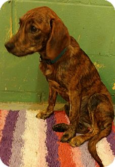 "Plott Hound Mix Puppy for adoption in Walden, New York - ""Friends litter"""