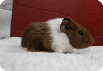 Guinea Pig for adoption in Fullerton, California - *Urgent* Sonny