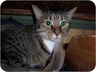 Domestic Shorthair Cat for adoption in North Plainfield, New Jersey - Maude