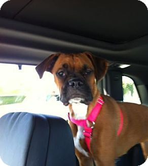 Boxer Puppy for adoption in Lake Forest, California - Riley