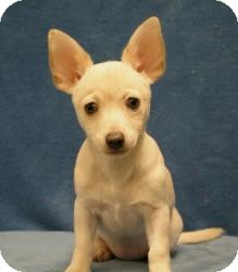 Chihuahua/Dachshund Mix Dog for adoption in Sacramento, California - Blanca
