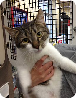 Polydactyl/Hemingway Cat for adoption in Troy, Ohio - Triangle
