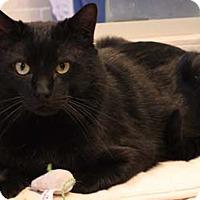 Adopt A Pet :: Panther - Merrifield, VA