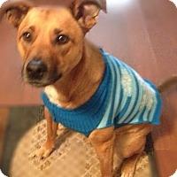 Adopt A Pet :: Scrappy - Courtesy Listing - Sparta, NJ