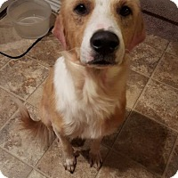 Adopt A Pet :: Rocky the Sweetest Boy - SAN ANTONIO, TX