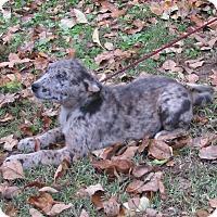 Adopt A Pet :: Claire - Bedminster, NJ