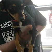 Adopt A Pet :: A378733 - San Antonio, TX