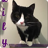 Domestic Shorthair Cat for adoption in Walden, New York - Lily