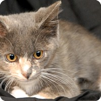 Domestic Shorthair Kitten for adoption in Newland, North Carolina - Sweet Dew