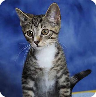 Domestic Shorthair Kitten for adoption in South Bend, Indiana - Arnie
