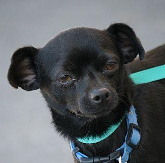 Chihuahua Mix Dog for adoption in Palmdale, California - Yoyo