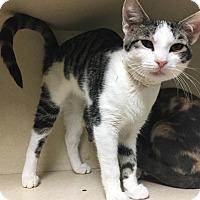 Domestic Shorthair Kitten for adoption in Westminster, California - Horton