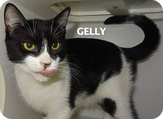 Domestic Shorthair Cat for adoption in Lapeer, Michigan - Gelly-laid back!