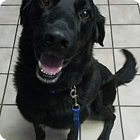 Flat-Coated Retriever/Retriever (Unknown Type) Mix Dog for adoption in Knoxville, Tennessee - Tripp