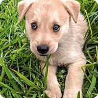 Adopt A Pet :: Thor - Olympia, WA