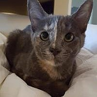 Domestic Shorthair Kitten for adoption in Rochester, Michigan - Promise