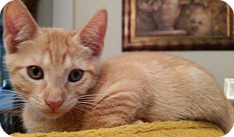 Domestic Shorthair Cat for adoption in Houston, Texas - Tigger